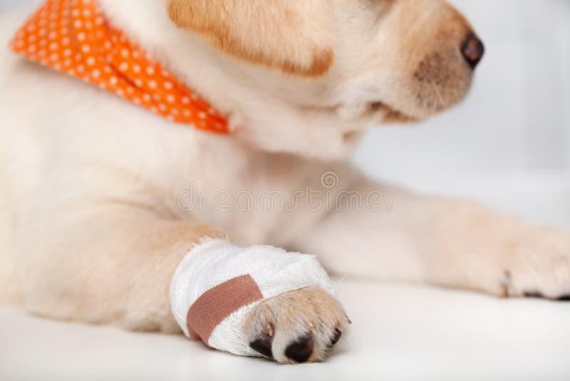 Detalle del perro de perrito herido de Labrador con el vendaje en su pata imágenes de archivo libres de regalías