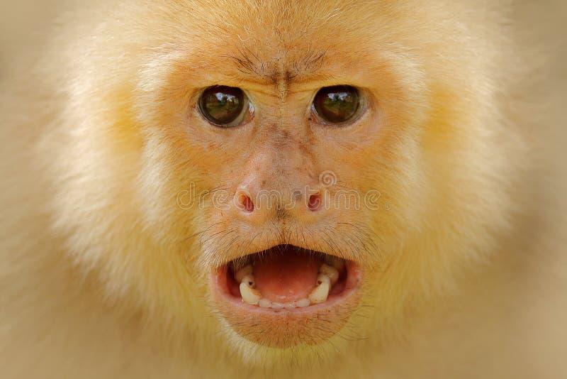 Detalle del primer de la cara del mono Capuch?n de cabeza blanca, mono negro que se sienta en rama de ?rbol en la fauna tropical  fotos de archivo libres de regalías