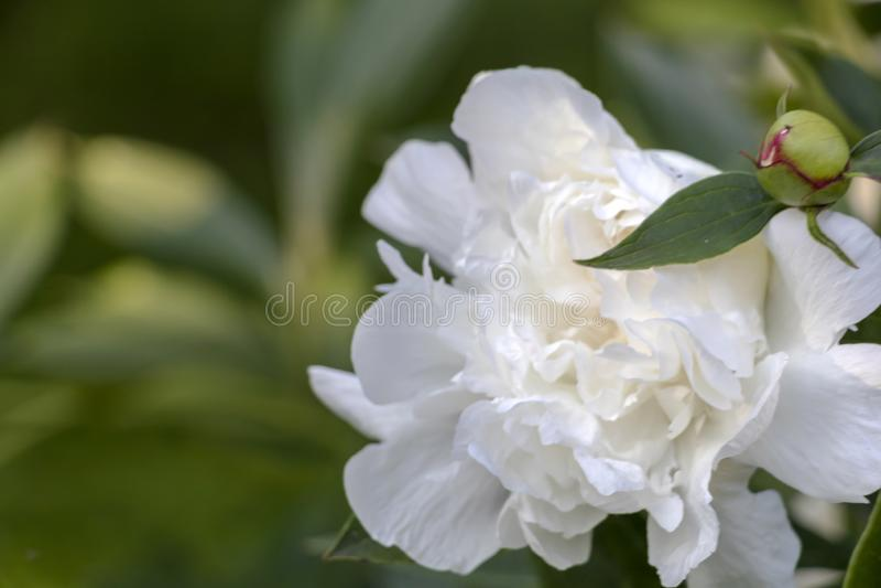 Detalle del primer de la flor blanca del Paeony con el fondo verde de las hojas imagenes de archivo