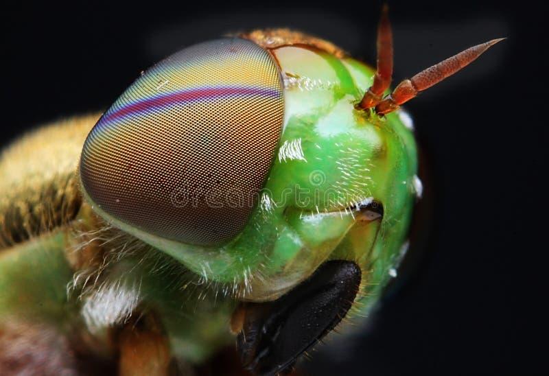 Detalle del primer de la opinión de las moscas fotografía de archivo libre de regalías