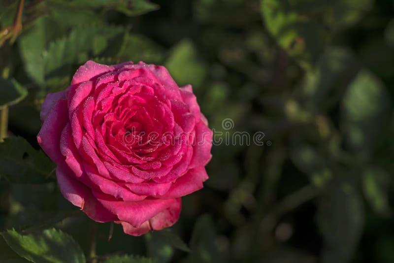 Detalle del primer de una rosa rosada en la izquierda con las hojas verdes en fondo imagen de archivo libre de regalías