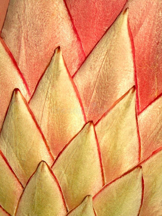 Detalle del protea de rey imagenes de archivo
