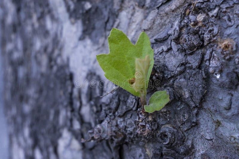 Detalle en árbol de corteza con el detalle púrpura borroso del fondo del efecto fotos de archivo libres de regalías