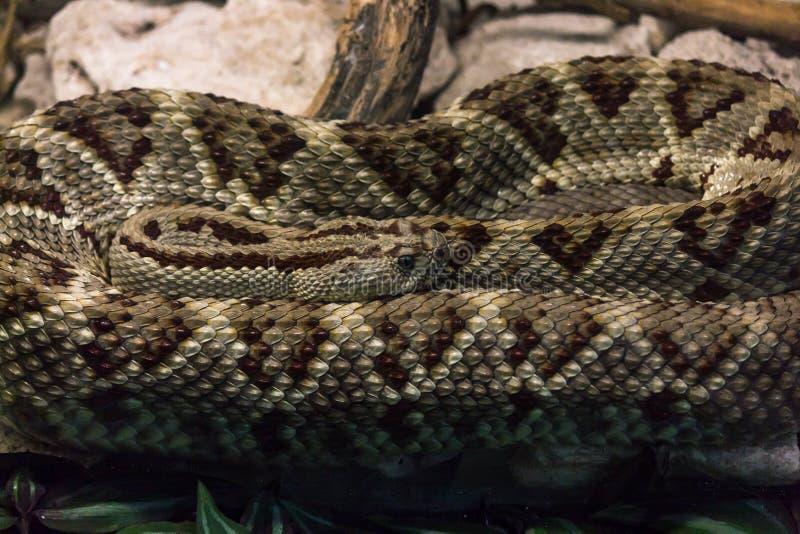Detalle en espiral de la serpiente de cascabel en escalas imagen de archivo