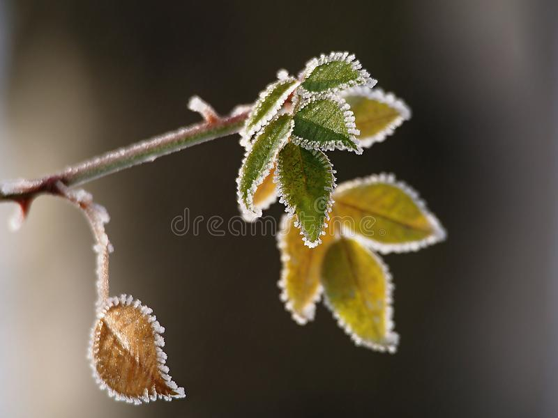 Detalle en las hojas escarchadas del árbol foto de archivo libre de regalías