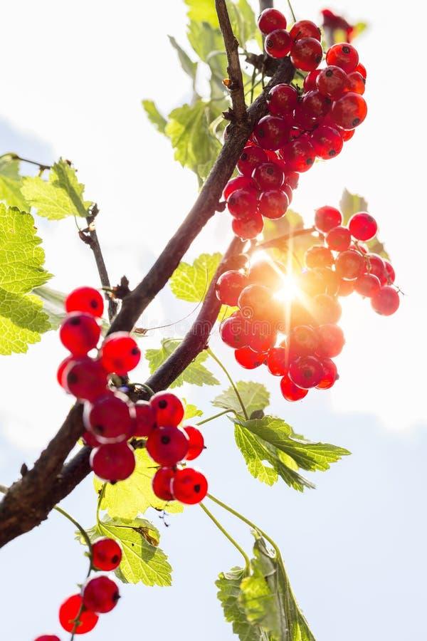 Detalle en un manojo de pasa roja en una rama con las hojas verdes imagen de archivo