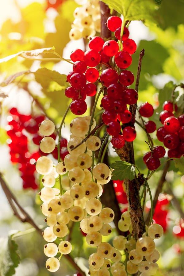 Detalle en un manojo de pasa roja y blanca en una rama con las hojas verdes imagen de archivo libre de regalías