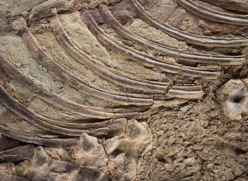 Detalle Fósil Imágenes de archivo libres de regalías