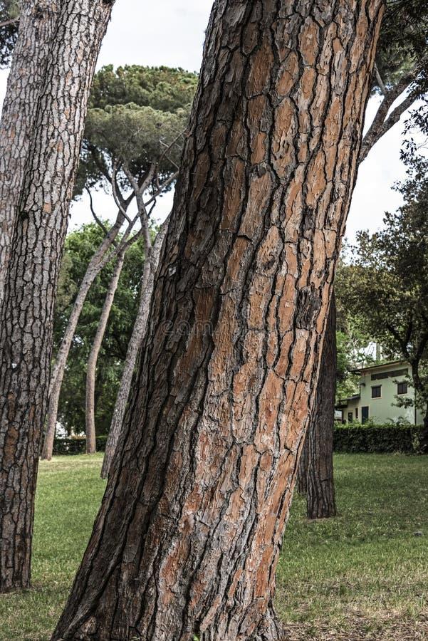 Detalle grande borghese del tronco de árbol de pino del chalet fotografía de archivo