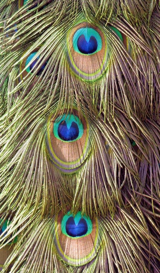 Detalle hermoso de la cola del pavo real imagen de archivo libre de regalías