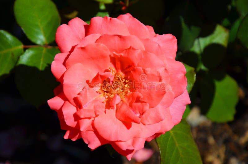Detalle hermoso de la rosa híbrida rosada del té, Rosaceae, tomado desde arriba con el fondo borroso fotos de archivo libres de regalías