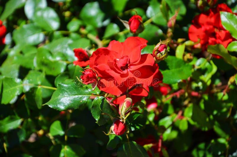 Detalle hermoso del arbusto color de rosa rojo salvaje admitido el verano con el sol que brilla en las flores imagen de archivo
