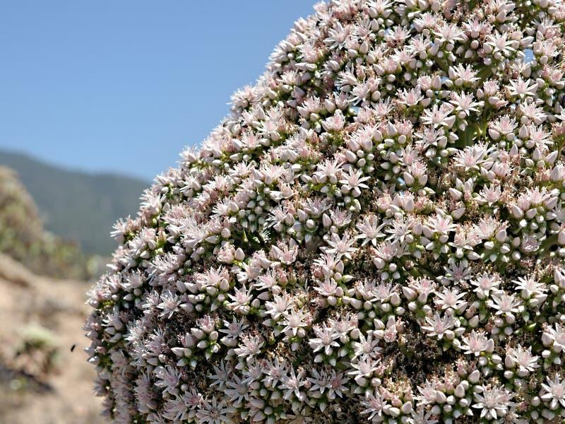 Detalle izquierdo de la página, detalle, de un verode, especie suculenta que florece completamente en Tenerife, Canarias imágenes de archivo libres de regalías