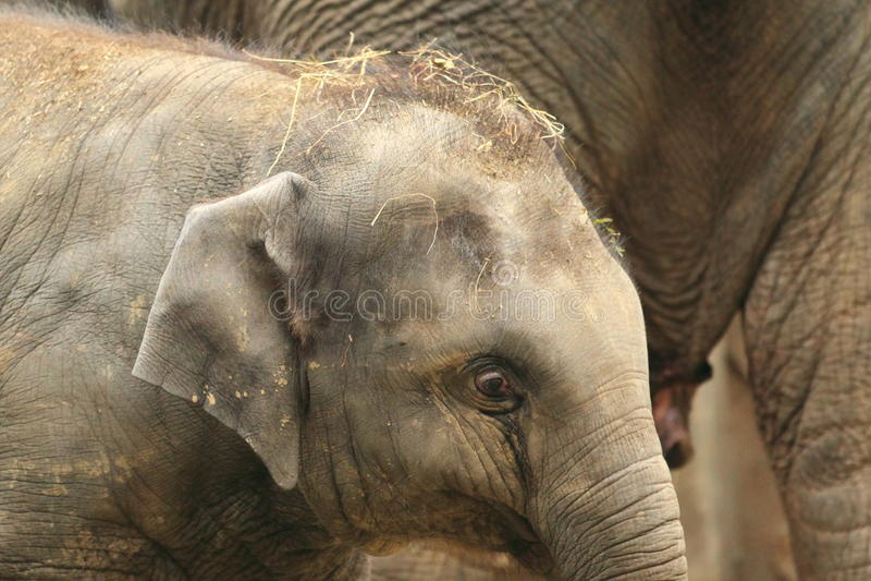 Detalle joven del elefante asiático imagenes de archivo
