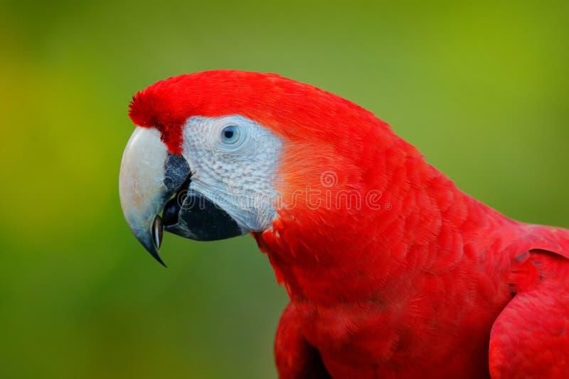 Detalle la cabeza del Macaw del escarlata del loro, Ara Macao, retrato principal rojo en el bosque tropical verde oscuro, Costa R fotografía de archivo
