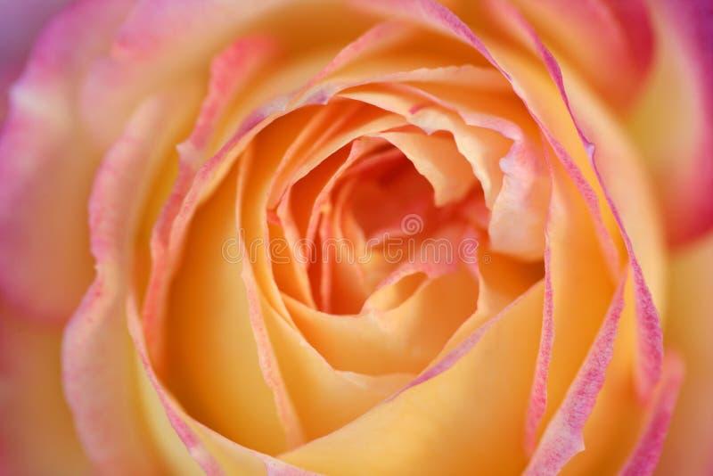Detalle macro de la flor color de rosa de la naranja en luz suave imagen de archivo