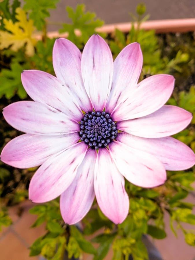 Detalle macro de la flor natural en la planta en color púrpura fotografía de archivo
