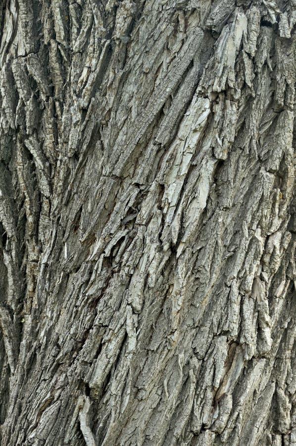 Detalle macro del primer de la barca hermosa envejecida vieja de la corteza de árbol de arce del roble Fondo abstracto texturizad foto de archivo