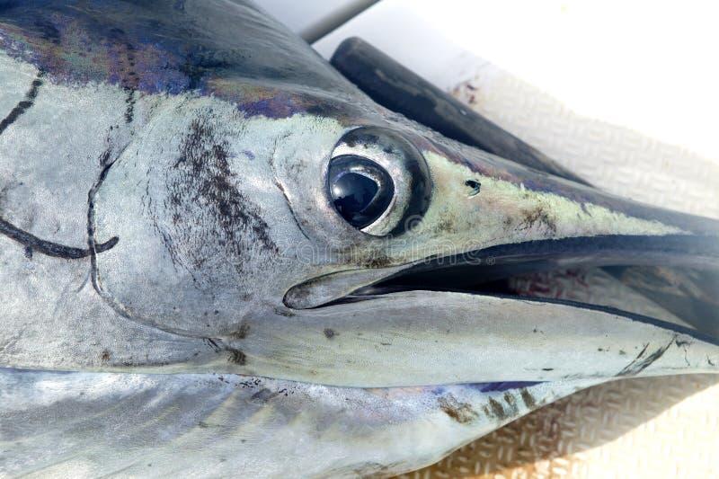 Detalle macro del primer de la cara del pez volador fotografía de archivo