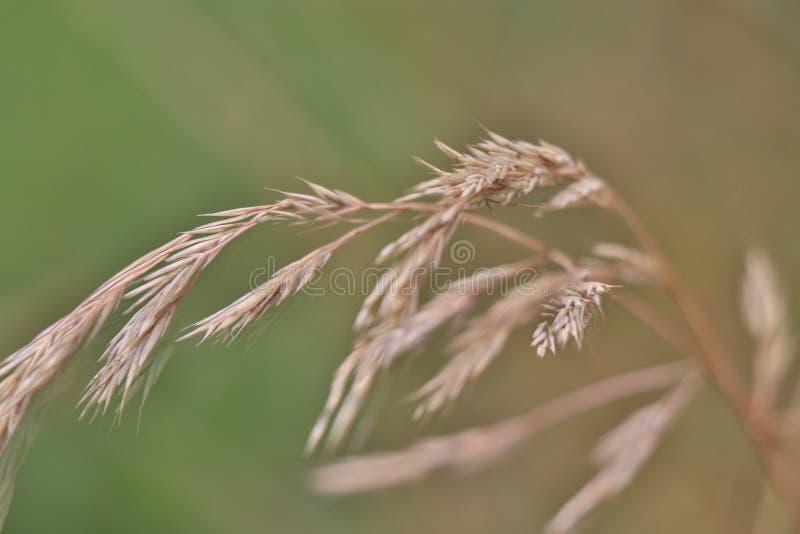 Detalle macro del punto de la hierba seca en verano tardío fotos de archivo