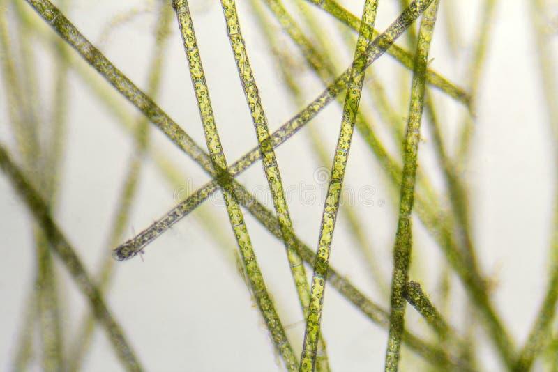 Detalle microscópico de las algas del zygnema imágenes de archivo libres de regalías