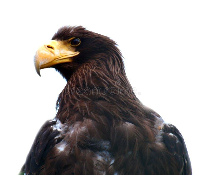 Detalle principal del Osprey imagenes de archivo
