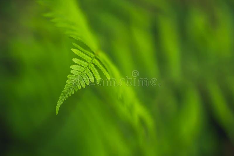 Detalle verde de la hoja del helecho en fondo suave Opini?n macra del filix-mas del Dryopteris de la planta del bosque Foco selec fotos de archivo libres de regalías