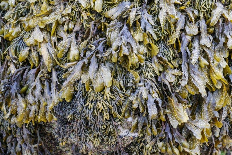 Detalle y primer de la alga marina hermosa foto de archivo libre de regalías
