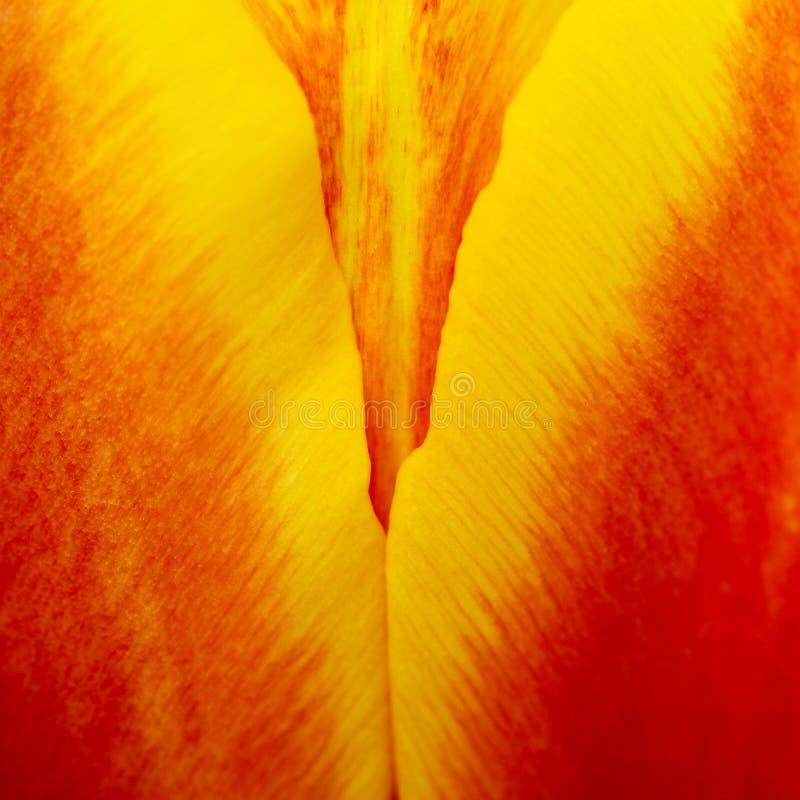 Detalles abstractos de los pétalos rojos, amarillos y anaranjados de la flor del tulipán en forma de V debajo de la foto macra de fotografía de archivo libre de regalías