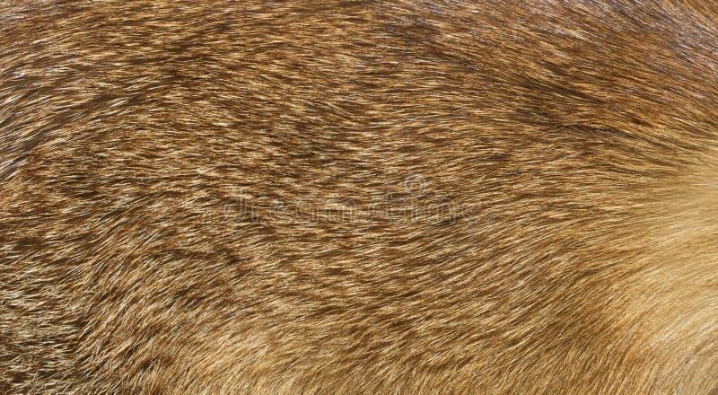 Detalles de la piel de zorro fotografía de archivo