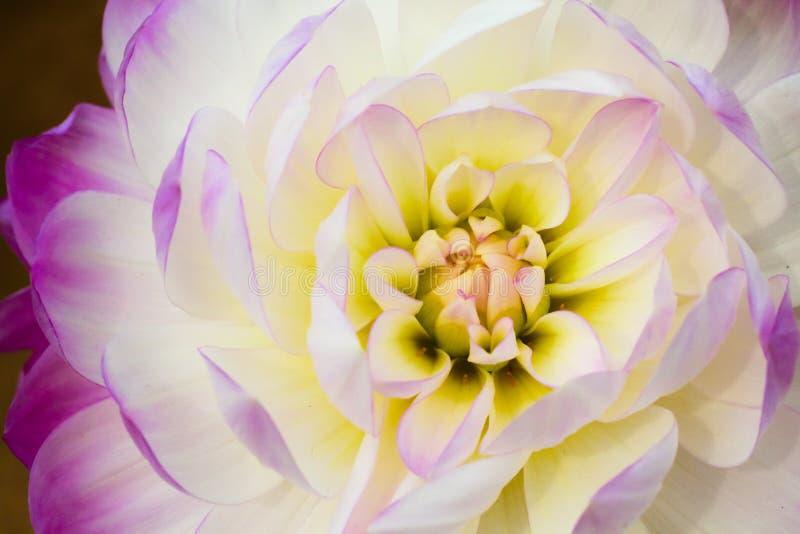 Detalles del cierre blanco, amarillo y púrpura de la macro de la flor de la dalia encima de la fotografía imagenes de archivo