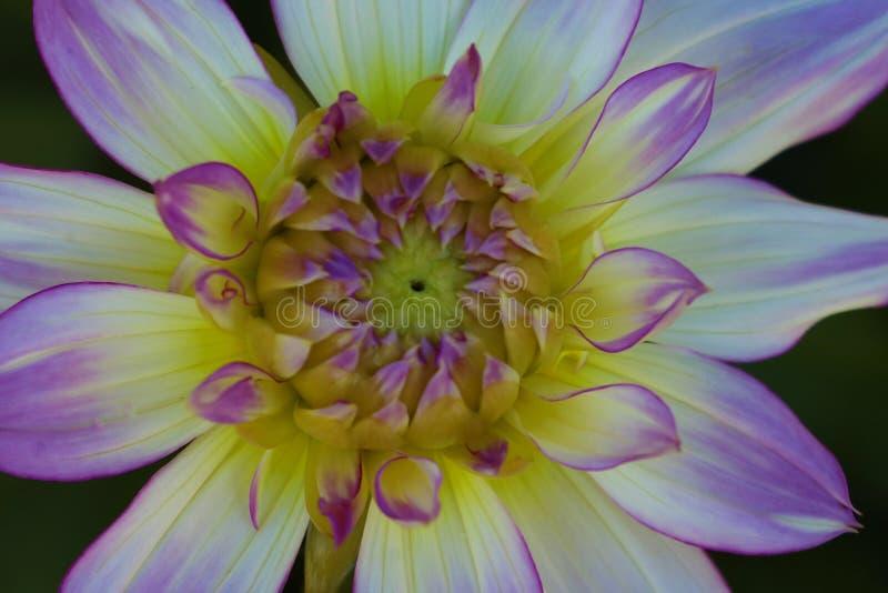 Detalles del cierre blanco, amarillo y púrpura de la macro de la flor de la dalia encima de la fotografía Foto en el color que ac imagenes de archivo