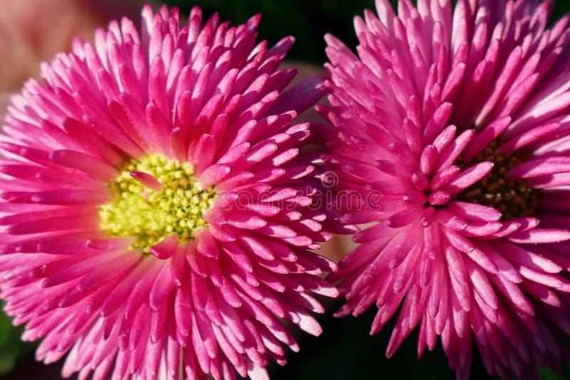 Detalles del dos flores rosadas, margaritas - foco selectivo imagen de archivo