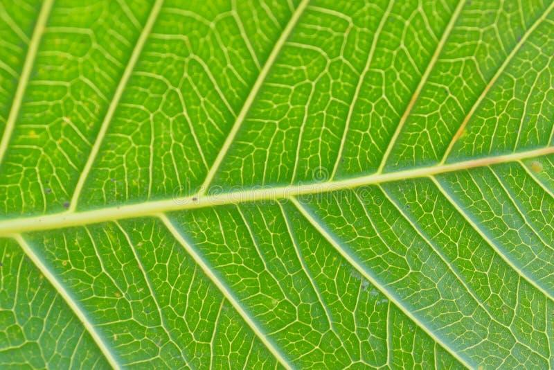 Detalles macros de las venas verdes de la hoja de Peepal fotos de archivo