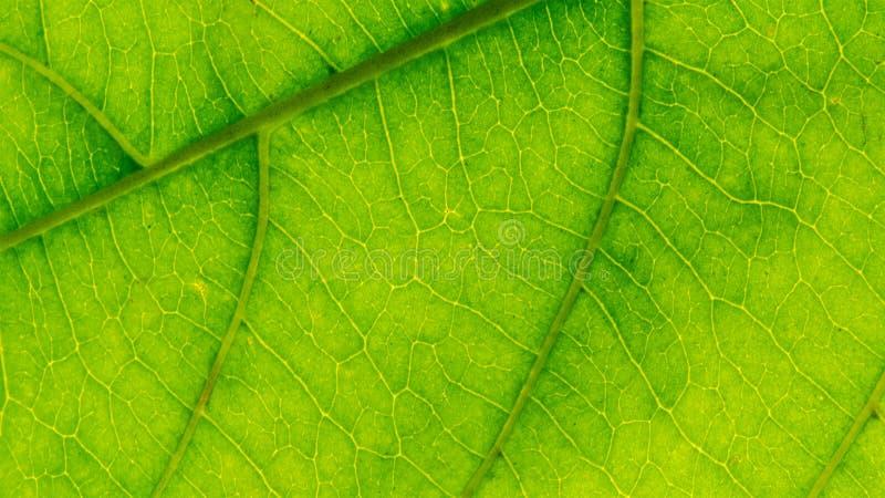 Detalles, textura y fondo verdes de la hoja foto de archivo libre de regalías