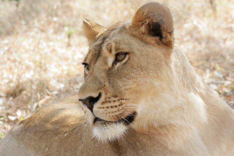 Determinación intensa de la mirada de la leona enfocada foto de archivo libre de regalías