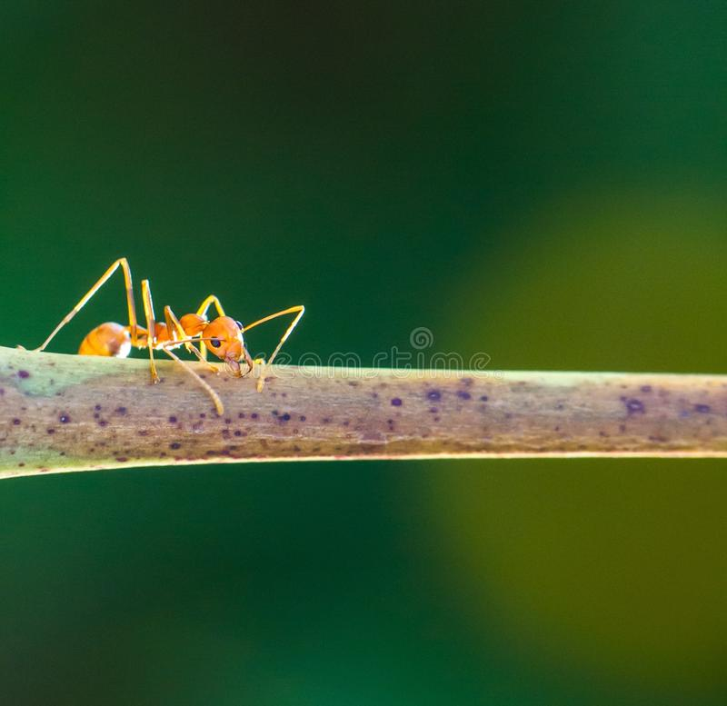 Determined ant royalty free stock photography