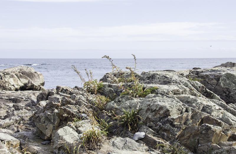 Determined grass growing out of rocks along the Maine coast stock photo