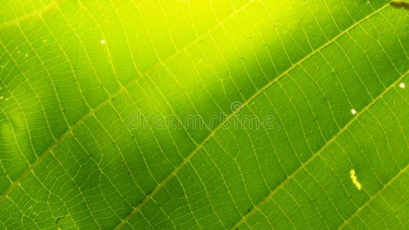 Detial του πράσινου φύλλου με το συμπαθητικό χρώμα στοκ φωτογραφία με δικαίωμα ελεύθερης χρήσης
