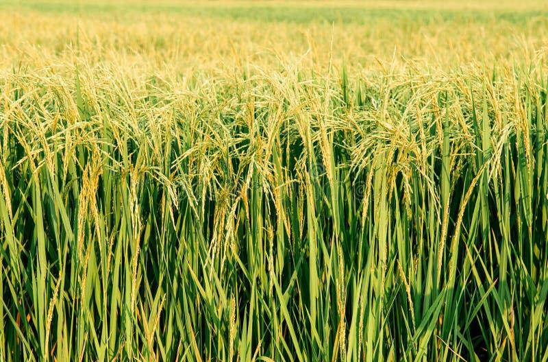 Detial des tropischen grünen Reisfeldes in Koh Tepo, Uthaithani, Tha stockfotos