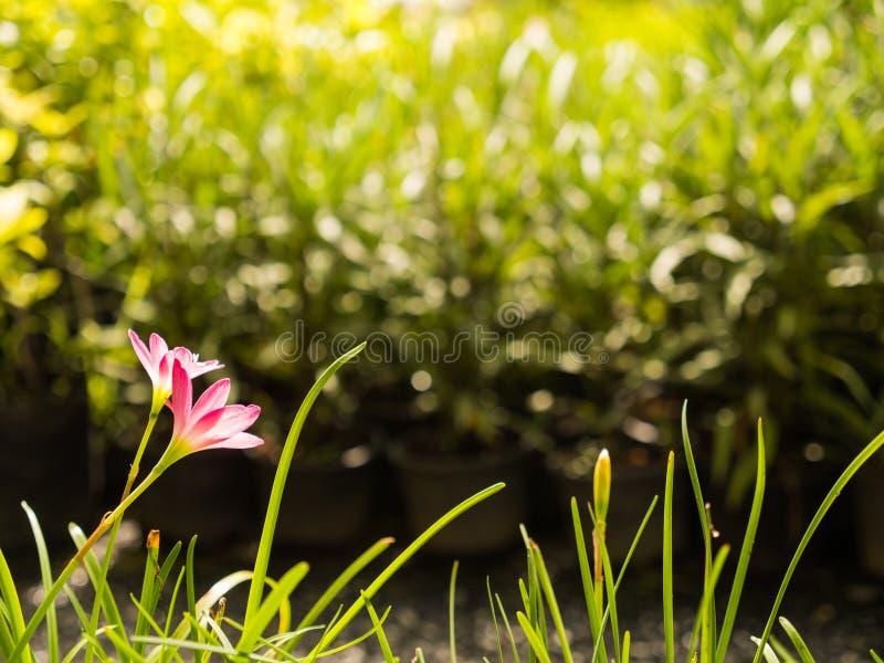 Detrás de la hada Lily Flower foto de archivo