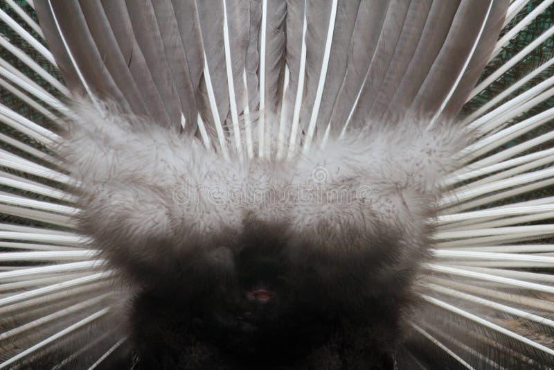 Detrás de la rueda del pavo real fotografía de archivo