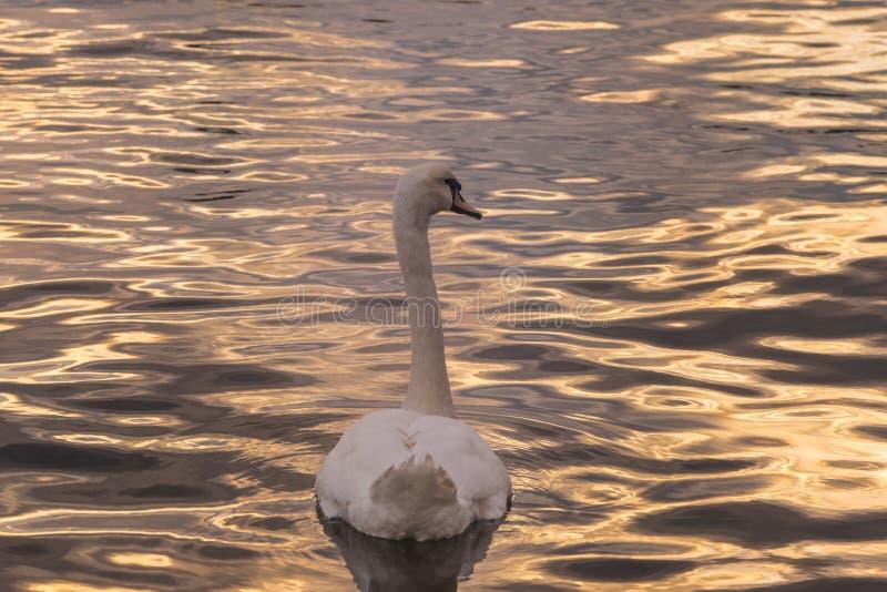 Detrás de un cisne foto de archivo