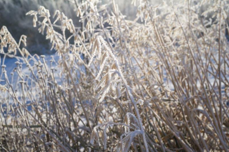 dettäckte örat av vete täckte gräset med rimfrost royaltyfria bilder