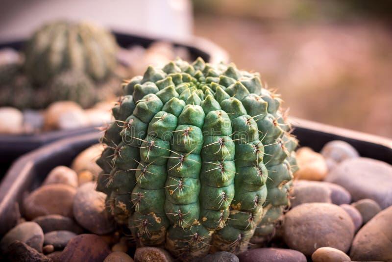 Detta är foto kaktuns royaltyfria foton