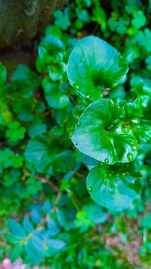 Detta är naturliga gröna sidor och droppe av vatten arkivbild