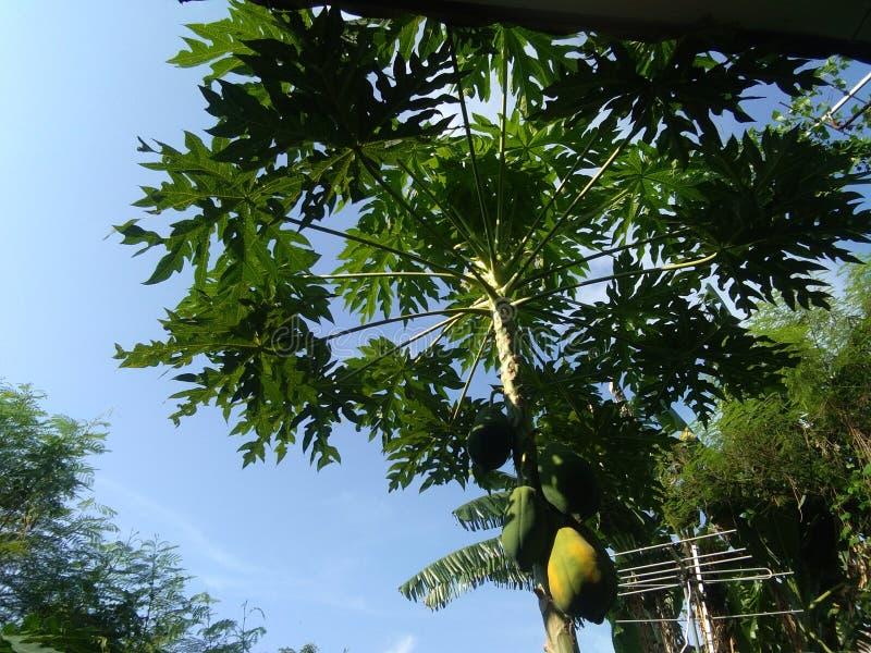 Detta Papayaträd arkivfoto