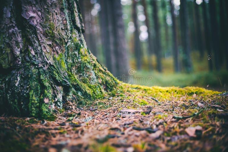Dettagli della foresta selvaggia, muschio del pino coperto di muschio verde, immagine del primo piano immagini stock libere da diritti