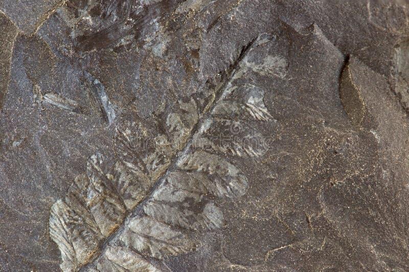 Dettagli delle piante fossilizzate su carbone fotografie stock libere da diritti