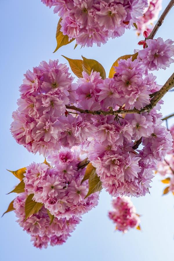 Dettagli di bei fiori rosa del prunus contro un cielo blu profondo 6 fotografie stock